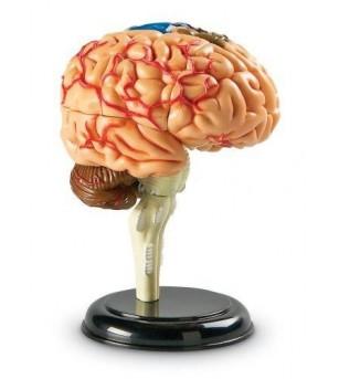 Creierul uman - macheta - Corpul uman