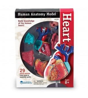 Sablon corp uman - Inima - Corpul uman