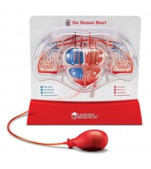 Sablon inima - Pomparea sangelui - Corpul uman